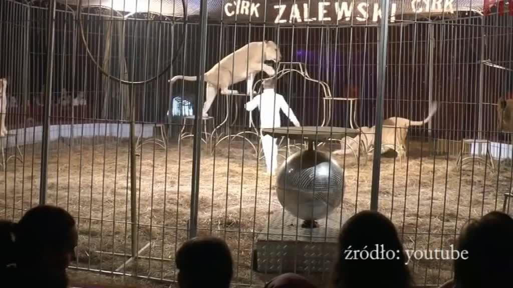 Pokazy cyrkowe we Włocławku pozostaną tradycyjne. Nie będzie zakazu dla przedstawień z udziałem zwierząt!