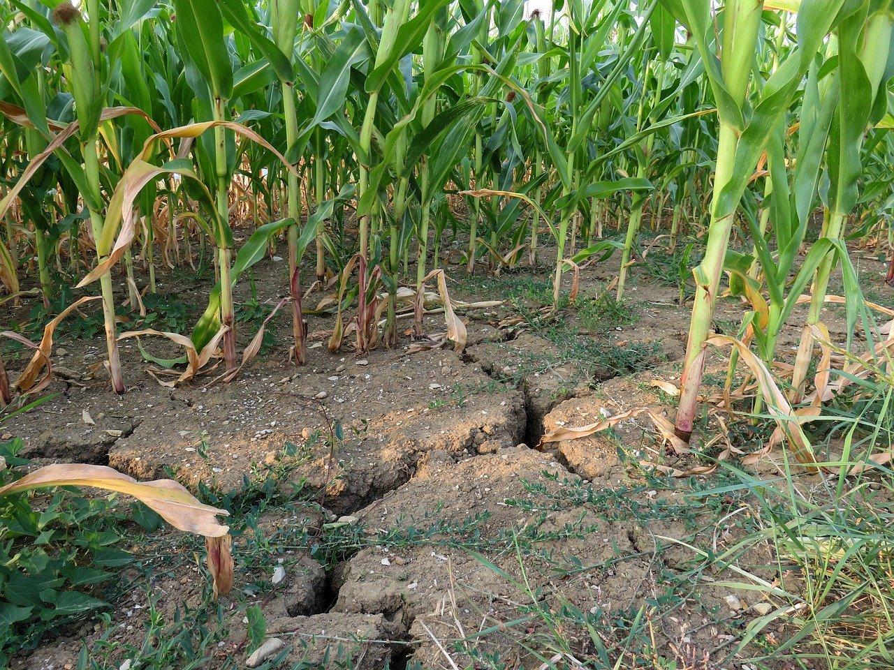 Chodecz będzie na liście gmin dotkniętych suszą